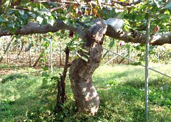ぶどうの木が元気でいられる土作り