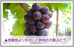 大阪産のぶどうは他産地よりも甘いと評判です。