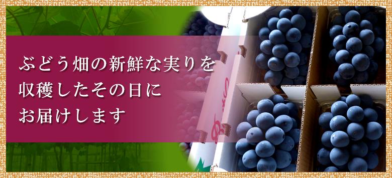 大阪府羽曳野市より新鮮なぶどうをお届けします。